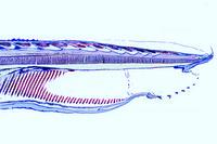 Branchiostoma, head region, median l.s.