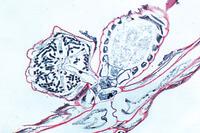 Chara, thallus and reproductive organs l.s.
