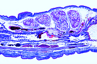 Lumbricus, 9th - 16th segment, sagittal l.s., sex organs
