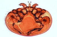Varroa, parasitic mite of bees w.m.