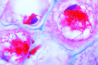 Microspore Development in Lilium