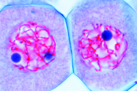 Lilium, anther t.s., microspore mother cells in pachytene