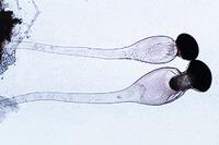 Pilobolus, mycelium, spongiophore and sporangia w.m. *