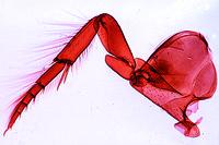 Diving beetle or water bug, swimming leg w.m.