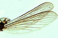 Culex pipiens, common mosquito, wing w.m.
