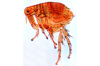 Xenopsylla cheopis, rat flea, the carrier of bubonic plague, adult male w.m.