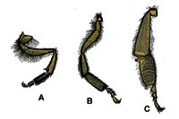Apis mellifica, composite slide of anterior, middle and posterior leg of worker, w.m.