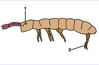 Podura, spring tail, adult w.m.