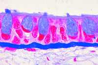 Goblet cells in sec. of colon, stained with muci-carmine