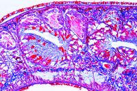 Planaria, t.s. through the body for general study