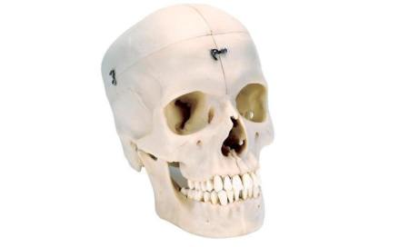 BONElike™ Human Bony Skull Model, 6 part