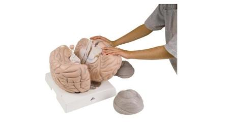 Giant Brain, 2.5 times full-size, 14 part