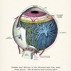 Canine Eye Diagram Electric Bicycle Wiring  Animal Clinic
