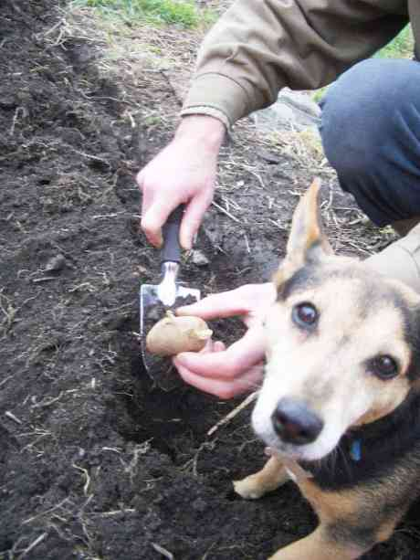 first spud of 2006 put into the dolphins barn garden, accompanied by the dog