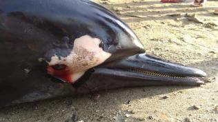 Patay nga dolphin napalgan sa Asturias1