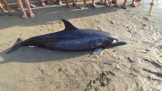 Patay nga dolphin napalgan sa Asturias4