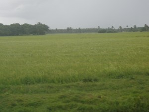A field with rice in bearing stages on the Essequibo Coast