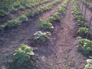 A cucumber farm under cultivation in the Pomeroon.