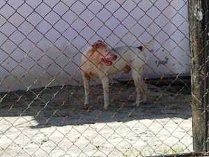 One of the Pit Bulls with blood around his mouth. [iNews' Photo]