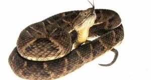 snake_labaria