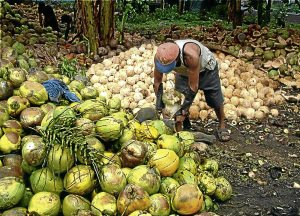 Matured coconuts are collected, dehusked and dried into copra to be sold as raw material for coconut oil. Photo by LA Villariba 053009
