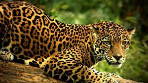 The Jaguar is the largest cat of the Americas weighing up to 100 kilograms (220 pounds)