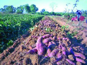 Sweet potato production