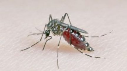 Aedes aegypti mosquitoes can spread Zika and dengue