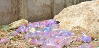A group of the jellyfish-like organisms washed up along the shores of the Atlantic Ocean in Guyana