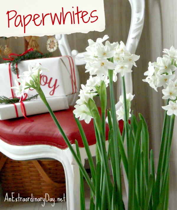 An Extraordinary Day paperwhites