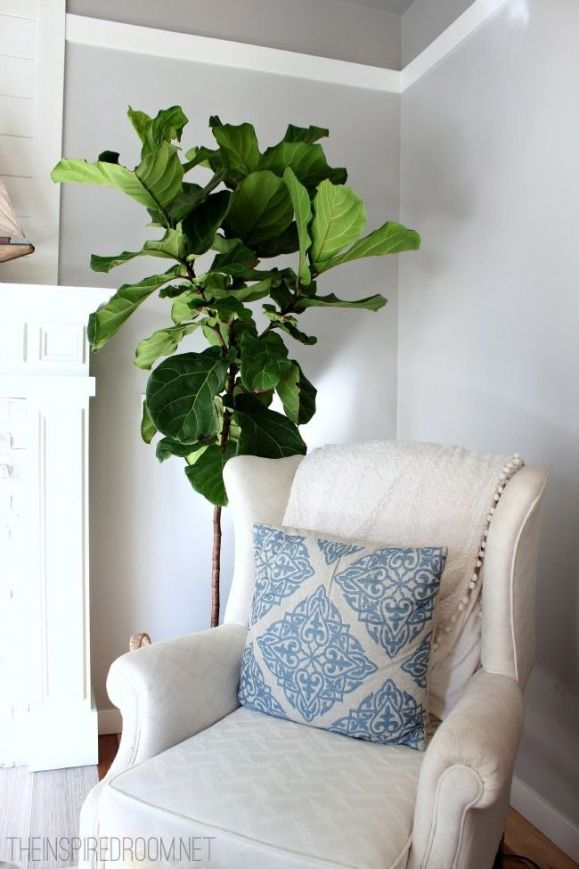 fiddle-leaf-fern-tips