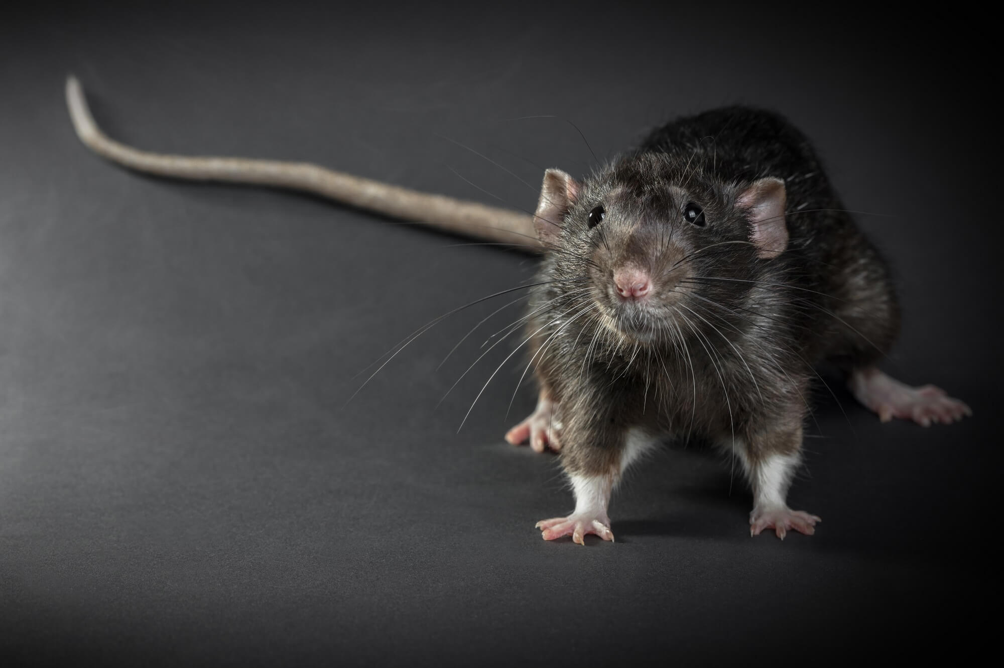 CDC: First Case of Rat-Borne Andes Virus Diagnosed in the US ...