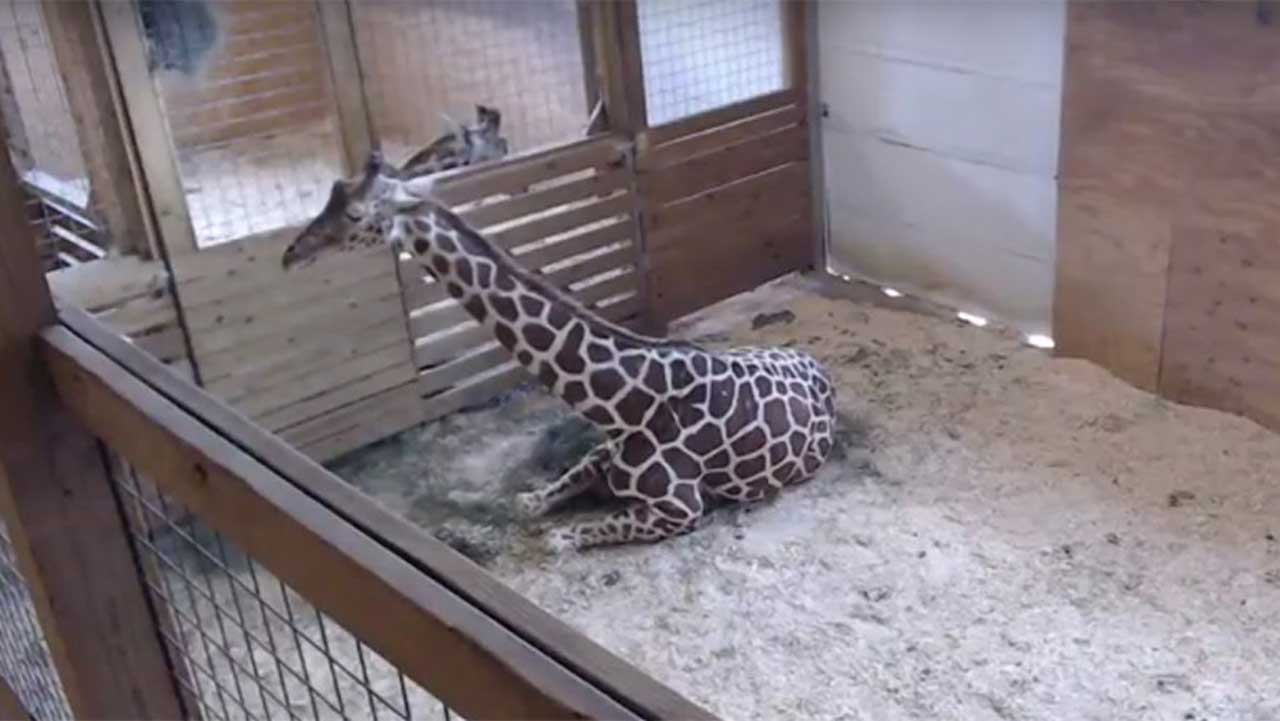 GIRAFFE WATCH: Facts about April and Oliver