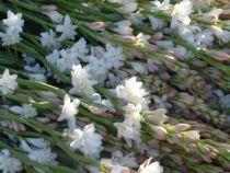 icono foto el cultivo del nardo