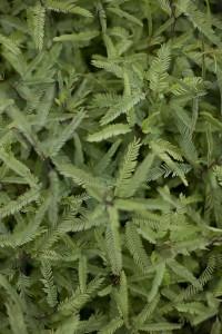 Plantines de Algarrobo