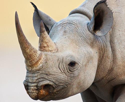 Le Vietnam Est Un Des Plus Grands Consommateurs Au Monde De Cornes De Rhinocéros. Dans Le Pays, Le Rhinocéros De Java Est à Présent éteint © Rhinoconservation.org