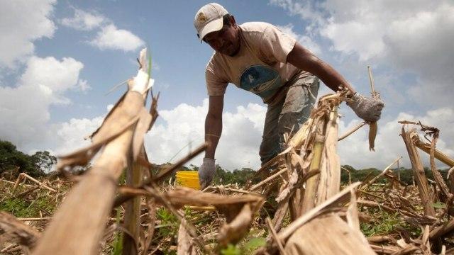 Un granjero recoge maís en la granja El Charcote en el estado central de Cojedes (REUTERS/Carlos Garcia Rawlins)