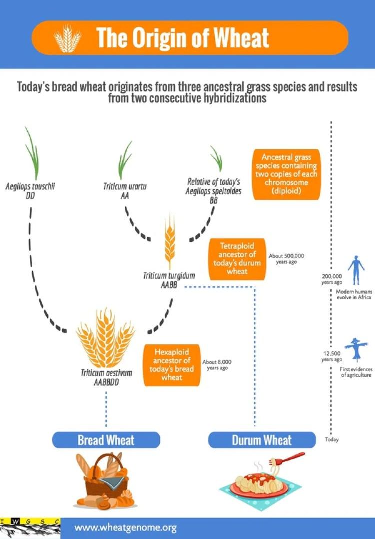 El esquema representa el desarrollo del trigo a lo largo de millones de años. Es cultivado desde hace 10.000 años por el hombre, que no existía cuando las hierbas ancestrales del trigo aún no se había fusionado para crear el cereal