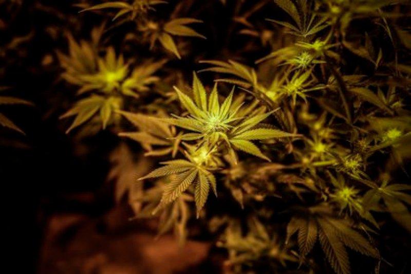 Los primeros usos medicinales datan de hace 5.000 años y figuran en el Pen Tsao Ching, un herbario chino (EFE)