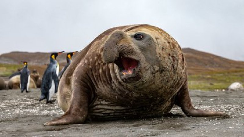 El elefante marino es uno de los animales más grande de los mares del sur (Shutterstock)