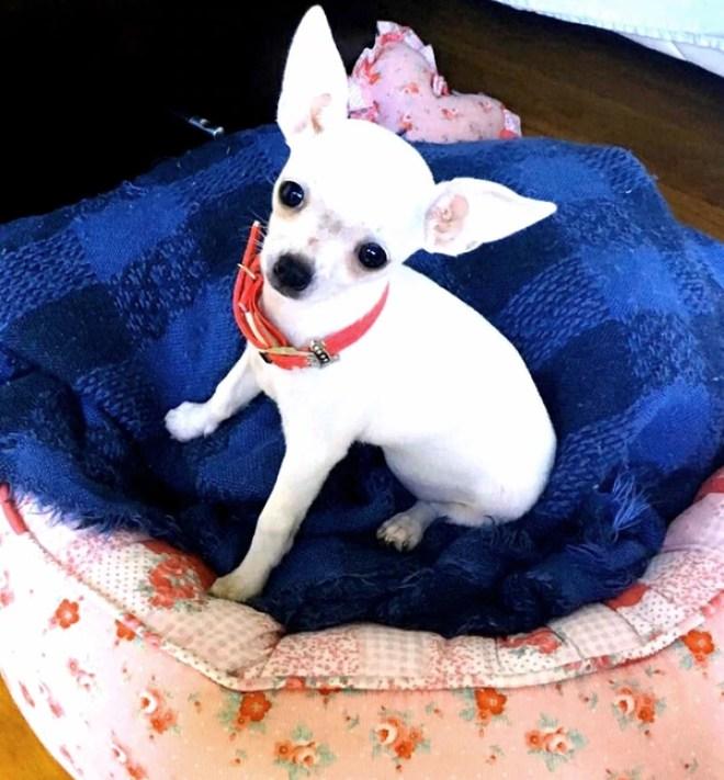 Zoe, una perrita chihuahua mini de tan solo quince días