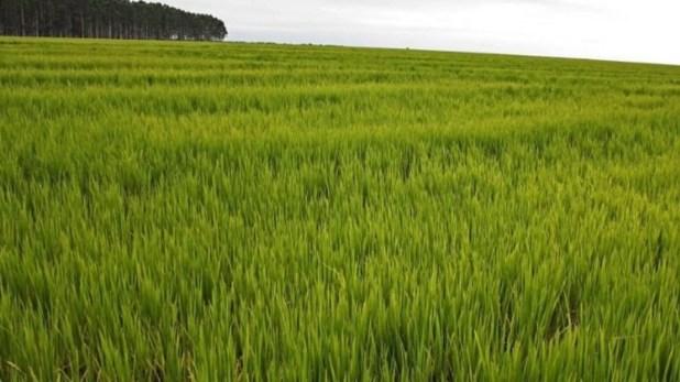 La producción de arroz fue alcanzada por los cambios en las retenciones a las exportaciones.