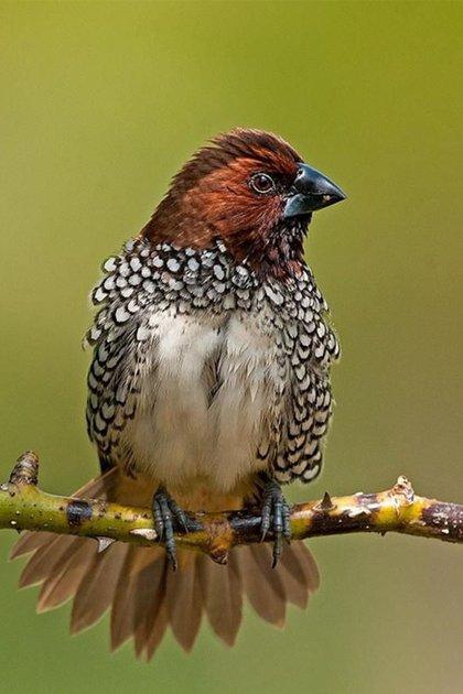 Las munias, los pájaros que menos likes cosechan entre los usuarios