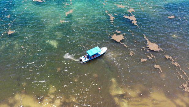 La proliferación del sargazo, principalmente en la región centro y sur de Quintana Roo, también ha afectado la supervivencia de 72 especies marinas (FOTO: ELIZABETH RUIZ /CUARTOSCURO.COM)