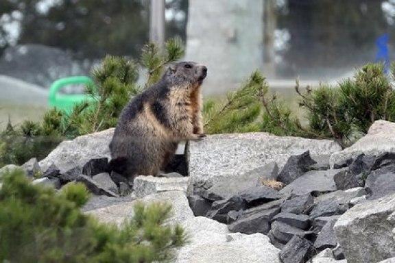 La Comisión Municipal de Sanidad de la ciudad de Bayannur, en China, ha pedido a los ciudadanos que denuncien si encuentran marmotas enfermas o muertas, que puedan portar la enfermedad (EFE/EPA/Grzegorz Momot/Archivo)