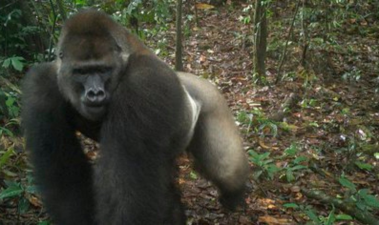 Esta imagen tomada por una cámara automática muestra a un gorila del río Cross en los montes Mbe el lunes 22 de junio de 2020. Un equipo de conservacionistas logró las primeras imágenes de un grupo de gorilas del río Cross, una subespecie poco común, con varias crías en los montes Mbe de Nigeria. La imagen demuestra que la subespecie, que se temió pudiera haberse extinguido, se está reproduciendo en medio de esfuerzos por protegerla. (WCS Nigeria via AP)