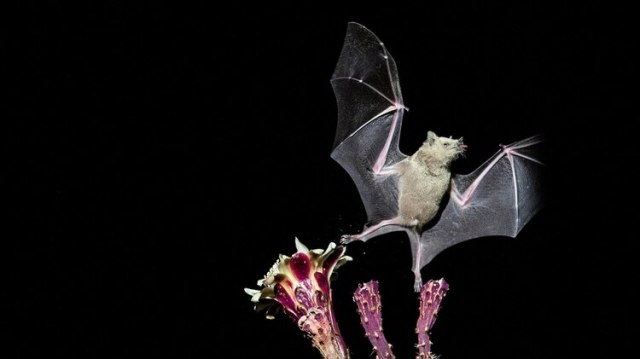 Como tiene un metabolismo acelerado para poder volar, el murciélago desarrolló una respuesta anti-inflamatoria: eso parece clave a la hora de mantener controlados a sus virus. (EFE)