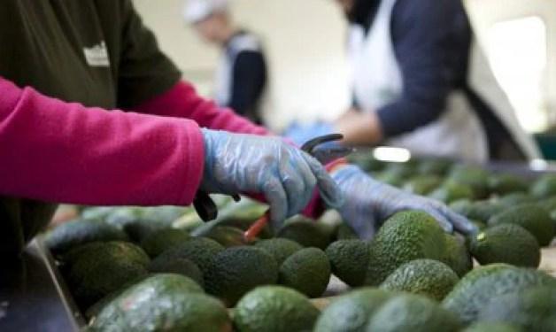 El consumo de aguacate ayuda a reducir el colesterol, y aporta numerosas vitaminas y minerales (Foto: Aguacate Hass. / EFE)