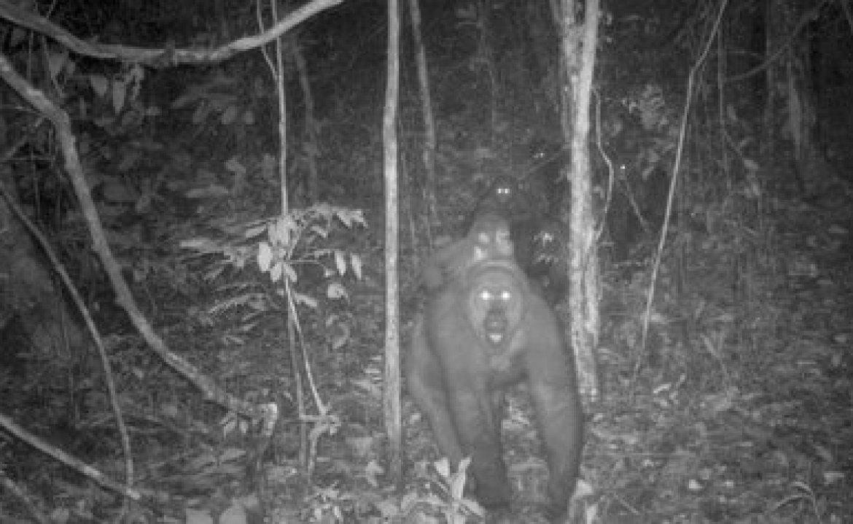 Esta imagen tomada por una cámara automática muestra a un grupo de gorilas del río Cross en los montes Mbe de Nigeria, el miércoles 27 de mayo de 2020. Un equipo de conservacionistas logró las primeras imágenes de un grupo de gorilas del río Cross, una subespecie poco común, con varias crías en los montes Mbe de Nigeria. La imagen demuestra que la subespecie, que se temió pudiera haberse extinguido, se está reproduciendo en medio de esfuerzos por protegerla. (WCS Nigeria via AP)