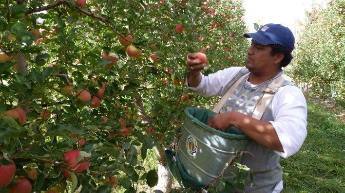 Para esta cosecha en Río Negro se espera el arribo de 20.000 trabajadores migrantes del Norte del país